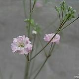 겹핑크 안개.하늘하늘 안개 좋아 하시는분들 다년생으로 오래도록 꽃을 보실수있어요.. 