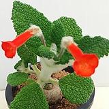 단애의여왕.신품종곰보 Rechsteineria leucotricha