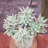 미니블러프레쳐스|Dudleya farinosa Bluff Lettuce