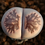 M47_ julii 菊長玉 * salicola Bacchus (가든실생교배종)|