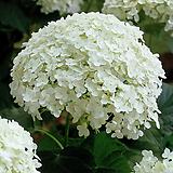 흰색 아나벨수국1주(대품)|Hydrangea macrophylla