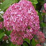핑크 아나벨 수국1주-대품|Hydrangea macrophylla