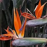 극락조.여인초 꽃피는극낙조 