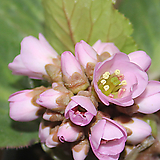 분홍설화(히말라야바위취) 묵은주여서 튼튼하죠.|