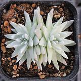 화이트그리니 3573|Dudleya White gnoma(White greenii / White sprite)