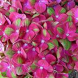 그린파이어수국|Hydrangea macrophylla