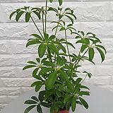 ♥홍콩야자 ♥실내공기정화식물 관엽식물