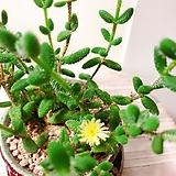 은전 수제분완성분(화병의 꽃을 꽂은듯 아름다운 수형/묵은주)|Crassula mesembryanthoides