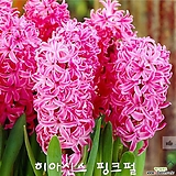 히아신스 핑크펄 구근 