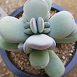 방울복랑금무지11두군생 대형종(희끗한곳있네요~)|Cotyledon orbiculata cv variegated