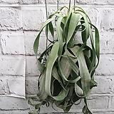 스트렙토필라/사진식물발송|