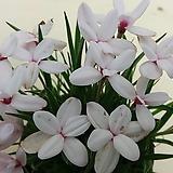 풍성한설난 하양.알뿌리식물로 해마다 예쁜꽃을 보여줍니다, 