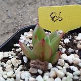 짧은잎적성금|Echeveria agavoides Akaihosi