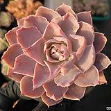 핑키06|Echeveria cv Pinky