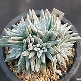화이트그리니|Dudleya White gnoma(White greenii / White sprite)