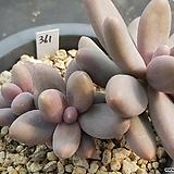 오비리데|Pachyphytum Oviride