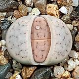 솔방울미인 35-375