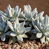 화이트그리니 9101-2357|Dudleya White gnoma(White greenii / White sprite)