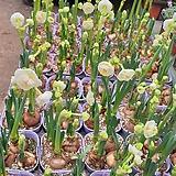 향수선화 (꽃대)|