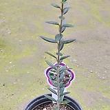 올리브 나무 (일자형)|