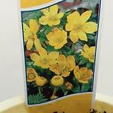 노랑 바람꽃.땅콩같은 알맹이에서 너무 예쁜 꽃이 피네요. 