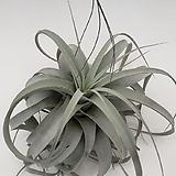 세로그라피카 대품 틸란드시아 공기정화식물 공중식물 행잉플랜트 틸란|Tillandsia