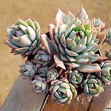 다크루브라 (대품)(왕목질)(자연군생) 6.62 0216 Echeveria agavoides Rubra