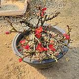 장수매 / 매화나무|