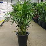 아레카야자 / 약 70cm / 천연가습기 / 공기정화식물 1위 / 미세먼지 제거 / 플랜테리어 / 카페인테리어 / 새집증후군제거