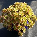 소인제(분채배송)|Aeonium  sedifolius
