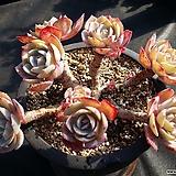 백카시즈대품(묵은둥이)|Echeveria runyonii cv