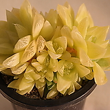 옥루금(경화금) Haworthia cymbiformis f. variegata