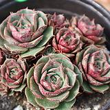 환엽원종롱기시마자연군생213|Echeveria longissima