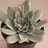 황홀한연꽃금 Echeveria pulidonis