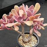 비올라센스|Pachyveria Myrtilla (old.Violescens)