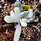 원종복랑금 자구1 Cotyledon orbiculata cv variegated