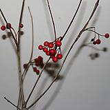 서양윤노리(꼭지윤노리) 흰색의 이쁜꽃과 붉은열매|