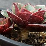 (호주)원종롱기시마|Echeveria longissima