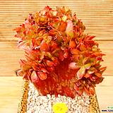 파시쿨라타철화|Echeveria fasciculate