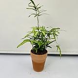 프테리스 고사리 식물|