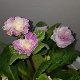 발레리나앵초 핑크아이스|Aeonium ballerina