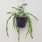 파라독스/립살리스/행잉플렌트/공중식물/공기정화식물|