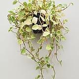 페페로미아/행잉플렌트/공중식물/공기정화식물|