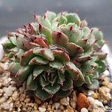 미니왕비황|Echeveria minima cv. Miniouhikou