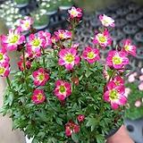운간초(분홍)|