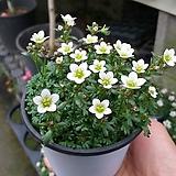 운간초(흰색)|