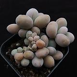 아메치스(목대)5|Graptopetalum amethystinum