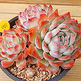 수련 얼큰이|Echeveria Suryeon