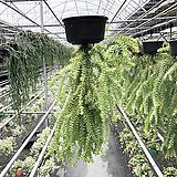 [풀장사]라이코포디움/석송/공기정화식물/행잉플랜트/선물하기좋은식물|