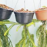 [레알밥]라이코포디움/행잉플랜트/공기정화식물/선물하기좋은식물/식물인테리어|
